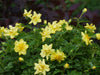 Proven Winners® Shrub Plants|Rosa - Oso Easy Lemon Zest Landscape Rose 6