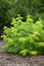 Proven Winners® Shrub Plants|Sambucus - Lemony Lace Elderberry 1