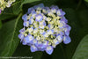 Shrub Plants|Macrophylla - Let's Dance Blue Jangles Reblooming Hydrangea 3