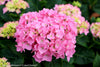 Shrub Plants|Macrophylla - Let's Dance Blue Jangles Reblooming Hydrangea 4