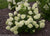 Proven Winners® Shrub Plants|Paniculata - Little Lime Hardy Hydrangea 2