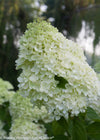 Proven Winners® Shrub Plants|Paniculata - Little Lime Hardy Hydrangea 3