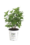 Proven Winners® Shrub Plants|Paniculata - Little Lime Hardy Hydrangea 6