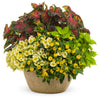 Proven Winners® Annual Plants|Lantana - Luscious Bananarama 3