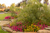 Proven Winners® Annual Plants|Lantana - Luscious Goldengate 3