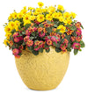 Proven Winners® Annual Plants|Lantana - Luscious Royale Cosmo 4