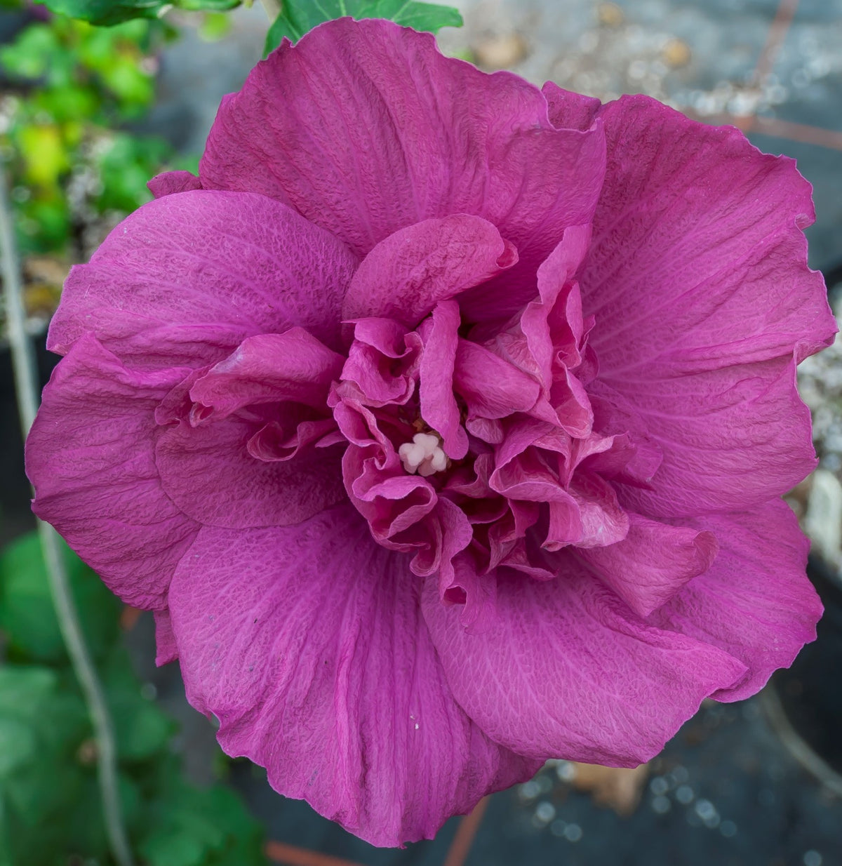 Proven Winners® Shrub Plants|Hibiscus - Magenta Chiffon Rose of Sharon 1
