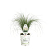 Proven Winners® Perennial Plants|Nassella - Mexican Feather Grass 4