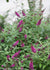 Proven Winners® Shrub Plants|Buddleia - Miss Molly' Butterfly Bush  1