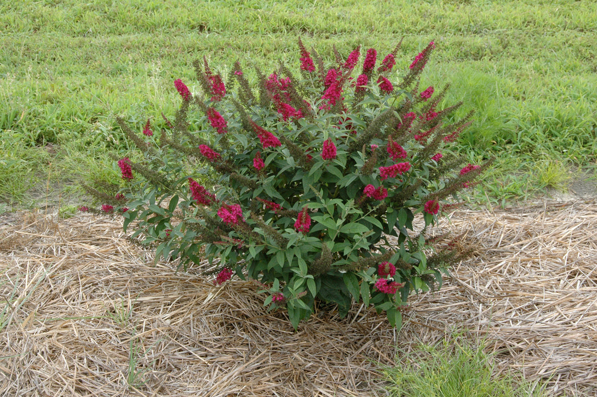 Proven Winners® Shrub Plants|Buddleia - Miss Molly' Butterfly Bush 2