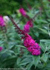 Proven Winners® Shrub Plants|Buddleia - Miss Molly' Butterfly Bush 4