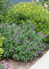 Proven Winners® Shrub Plants|Buddleia - Miss Violet' Butterfly Bush 2