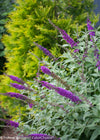 Proven Winners® Shrub Plants|Buddleia - Miss Violet' Butterfly Bush 4