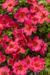Proven Winners® Annual Plants|Portulaca - Mojave Red Purslane 1