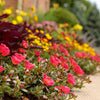 Proven Winners® Annual Plants|Portulaca - Mojave Red Purslane 2