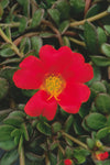 Proven Winners® Annual Plants|Portulaca - Mojave Red Purslane 3