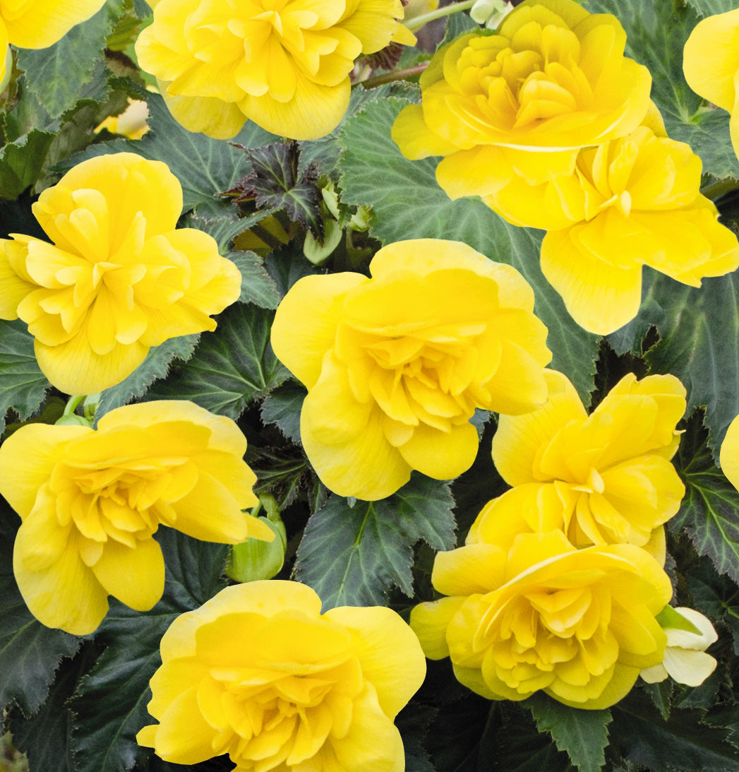 Proven Winners® Annual Plants|Tuberous Begonia - Nonstop Joy Yellow  1
