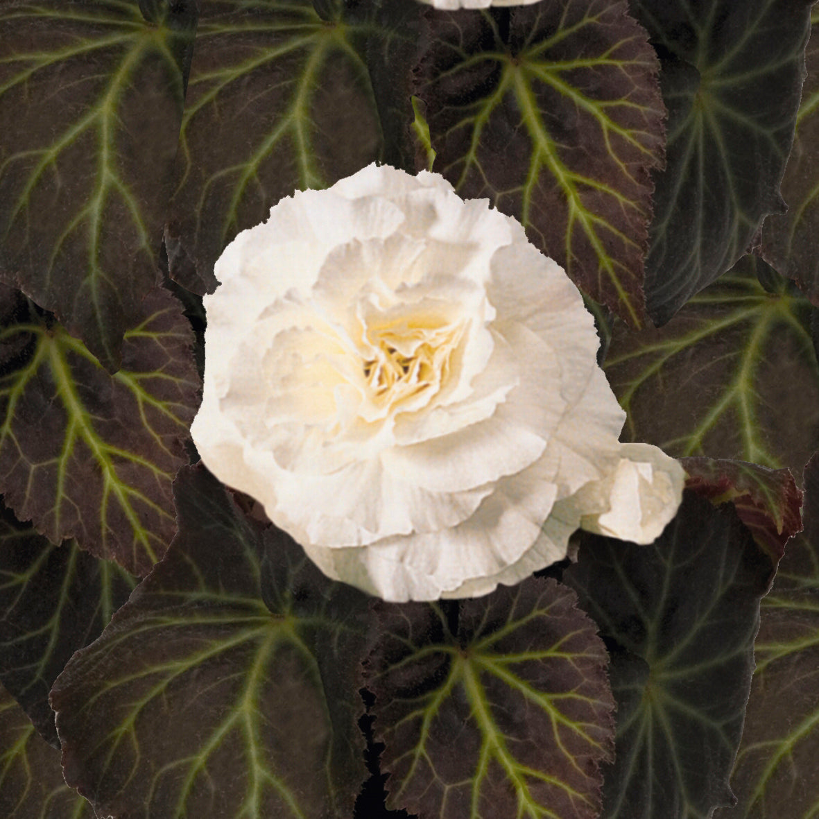 Annual Plants|Begonia - Nonstop Mocca White Tuberous Begonia 1