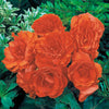 Proven Winners® Annual Plants|Tuberous Begonia - Nonstop Orange 1