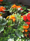 Proven Winners® Annual Plants|Tuberous Begonia - Nonstop Orange 2