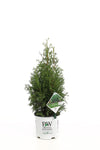 Proven Winners® Shrub Plants|Thuja - North Pole Arborvitae 5