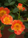 Proven Winners® Shrub Plants|Rosa - Oso Easy Paprika Landscape Rose 1