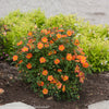 Proven Winners® Shrub Plants|Rosa - Oso Easy Paprika Landscape Rose 2