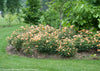 Proven Winners® Shrub Plants|Rosa - Oso Easy Paprika Landscape Rose 4