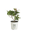 Proven Winners® Shrub Plants|Callicarpa - Pearl Glam Beautyberry 6