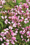 Proven Winners® Annual Plants|Cleome - Pequeña Rosalita Spider Flower 1