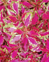 Proven Winners® Annual Plants|Solenostemon - Pink Chaos Coleus 3