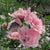 Proven Winners® Shrub Plants|Hibiscus - Pink Chiffon Rose of Sharon 1