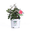 Proven Winners® Shrub Plants|Rosa - Oso Easy Pink Cupcake Landscape Rose 4