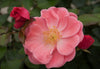 Proven Winners® Shrub Plants|Rosa - Oso Easy Pink Cupcake Landscape Rose 2