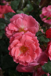 Proven Winners® Shrub Plants|Rosa - Oso Easy Pink Cupcake Landscape Rose 5