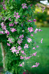 Proven Winners® Shrub Plants|Pink Mink Clematis 3