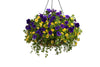 Proven Winners® Patio Plants|Plum Crazy Combination Hanging Basket 1