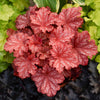 Perennial Plants|Heuchera - Primo 'Peachberry Ice' Coral Bells 1