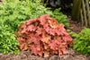 Perennial Plants|Heuchera - Primo 'Peachberry Ice' Coral Bells 2
