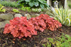 Perennial Plants|Heuchera - Primo 'Peachberry Ice' Coral Bells 4