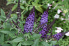 Proven Winners® Shrub Plants|Buddleia - Pugster Blue Butterfly Bush 3