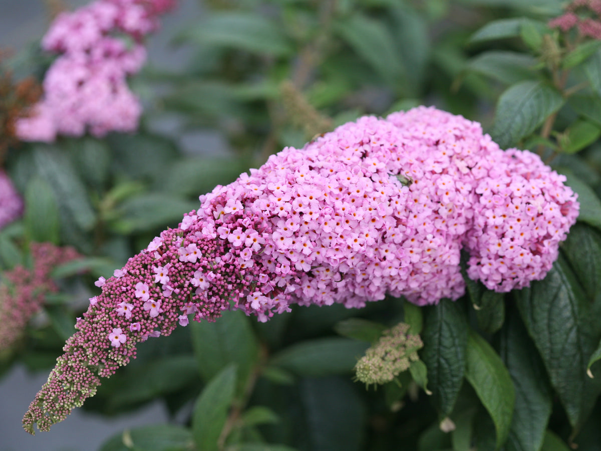 Proven Winners® Shrub Plants|Buddleia - Pugster Pink Butterfly Bush  1
