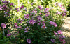 Proven Winners® Shrub Plants|Hibiscus - Purple Satin Rose of Sharon 3