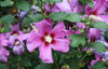 Proven Winners® Shrub Plants|Hibiscus - Purple Satin Rose of Sharon 2