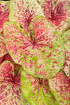 Proven Winners® Annual Plants|Caladium - Heart to Heart 'Raspberry Moon' 1