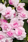 Proven Winners® Annual Plants|Impatiens - Rockapulco Appleblossom Double Impatiens 1