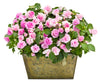 Proven Winners® Patio Plants|Impatiens - Rockapulco Appleblossom Mono Hanging Basket 2