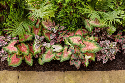 Proven Winners® Annual Plants|Caladium - Heart to Heart 'Rose Glow' 2