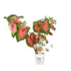 Proven Winners® Annual Plants|Caladium - Heart to Heart 'Rose Glow'  1