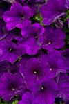 Patio Plants|Petunia - Supertunia Royal Velvet Mono Hanging Basket 2